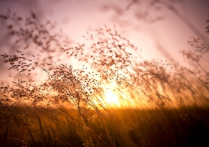 Long summer dry grass against a sunset.